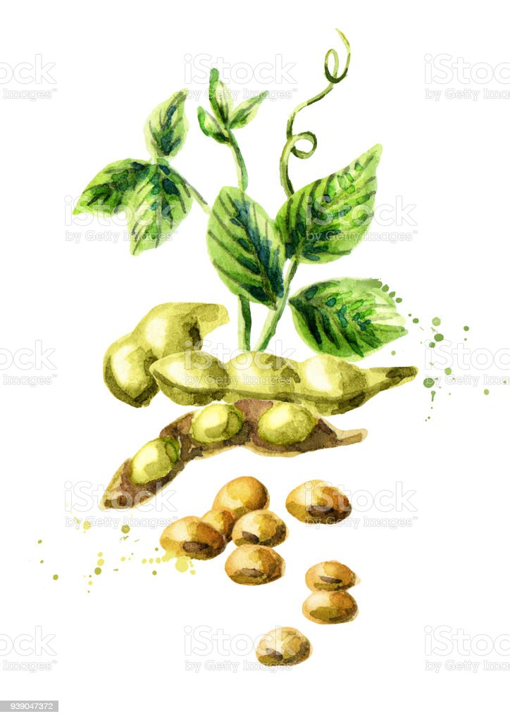 Soybeans vertical composition. Watercolor hand drawn illustration. vector art illustration