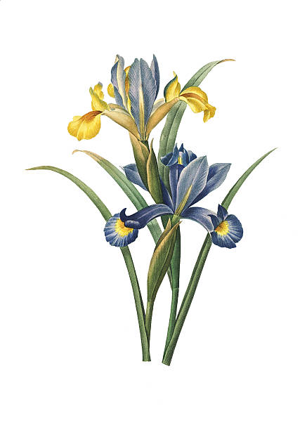 stockillustraties, clipart, cartoons en iconen met spanish iris | redoute flower illustrations - iris plant