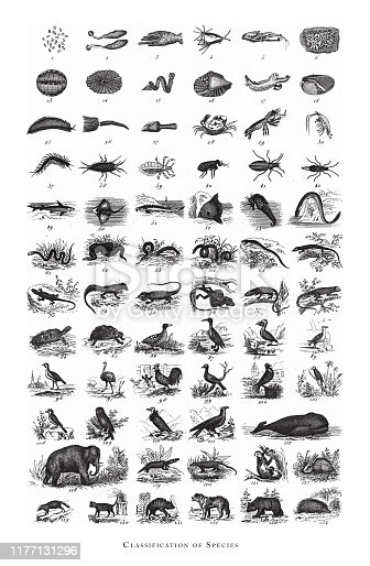 istock Species, Classification of Animal Species Engraving Antique Illustration, Published 1851 1177131296
