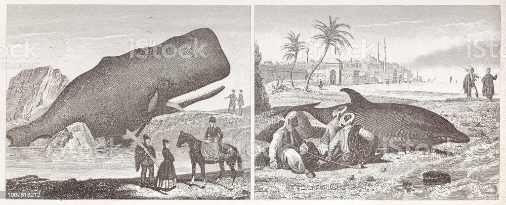 Sperm whale and dolphin lying dead at coastline illustration 1851 vector art illustration
