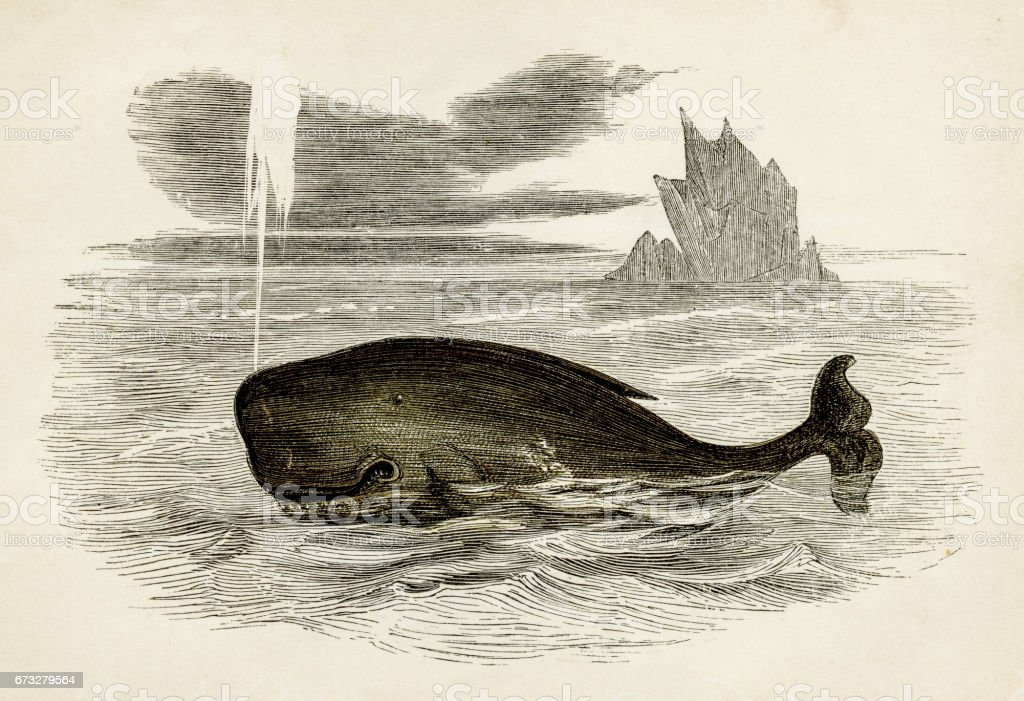 Sperm whale engraving 1851 royalty-free sperm whale engraving 1851 stock vector art & more images of animal