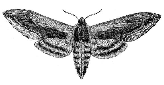 Sphinx ligustri, the privet hawk moth
