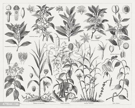 Spice plants: Clove (Syzygium aromaticum), Chili pepper (Capsicum annuum), Allspice (Pimenta dioica), Japanese star anise (Illicium anisatum), Nutmeg tree (Myristica fragrans), Cinnamon tree (Cinnamomum verum), Green cardamom (Elettaria cardamomum), Vanilla (Vanilla planifolia), Ginger (Zingiber officinale), Black pepper (Piper nigrum). Woodcut engraving, published in 1876.