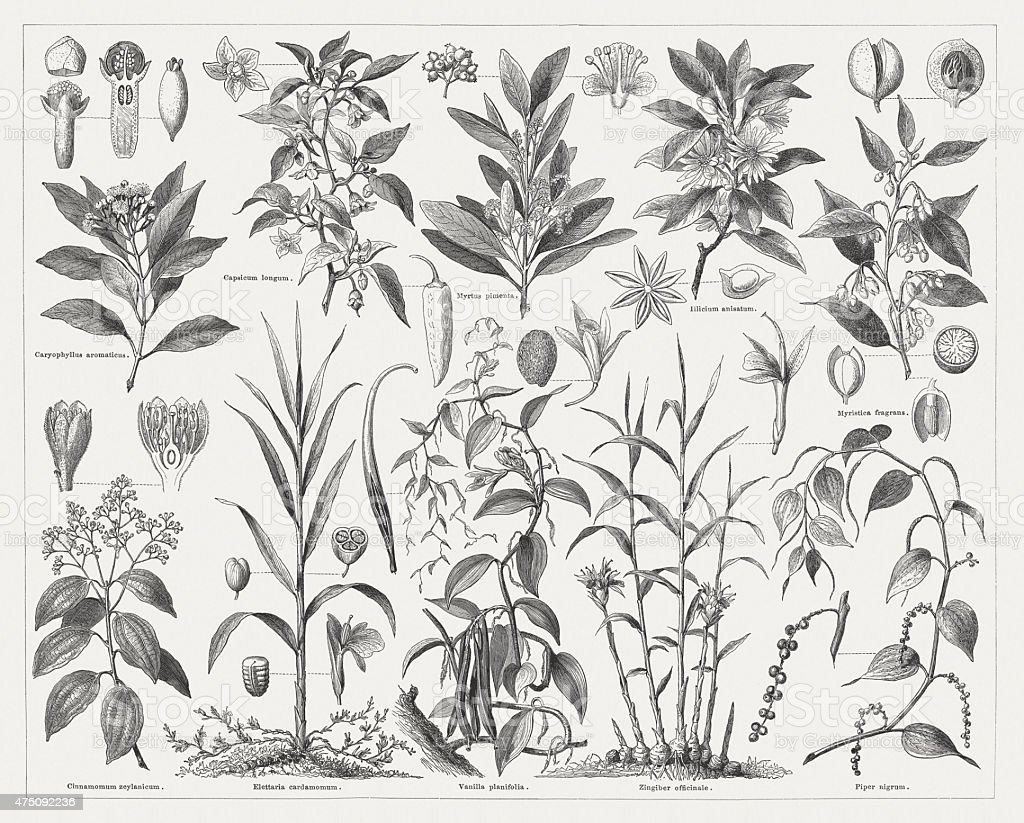 Spice plants, wood engravings, published in 1876 vector art illustration