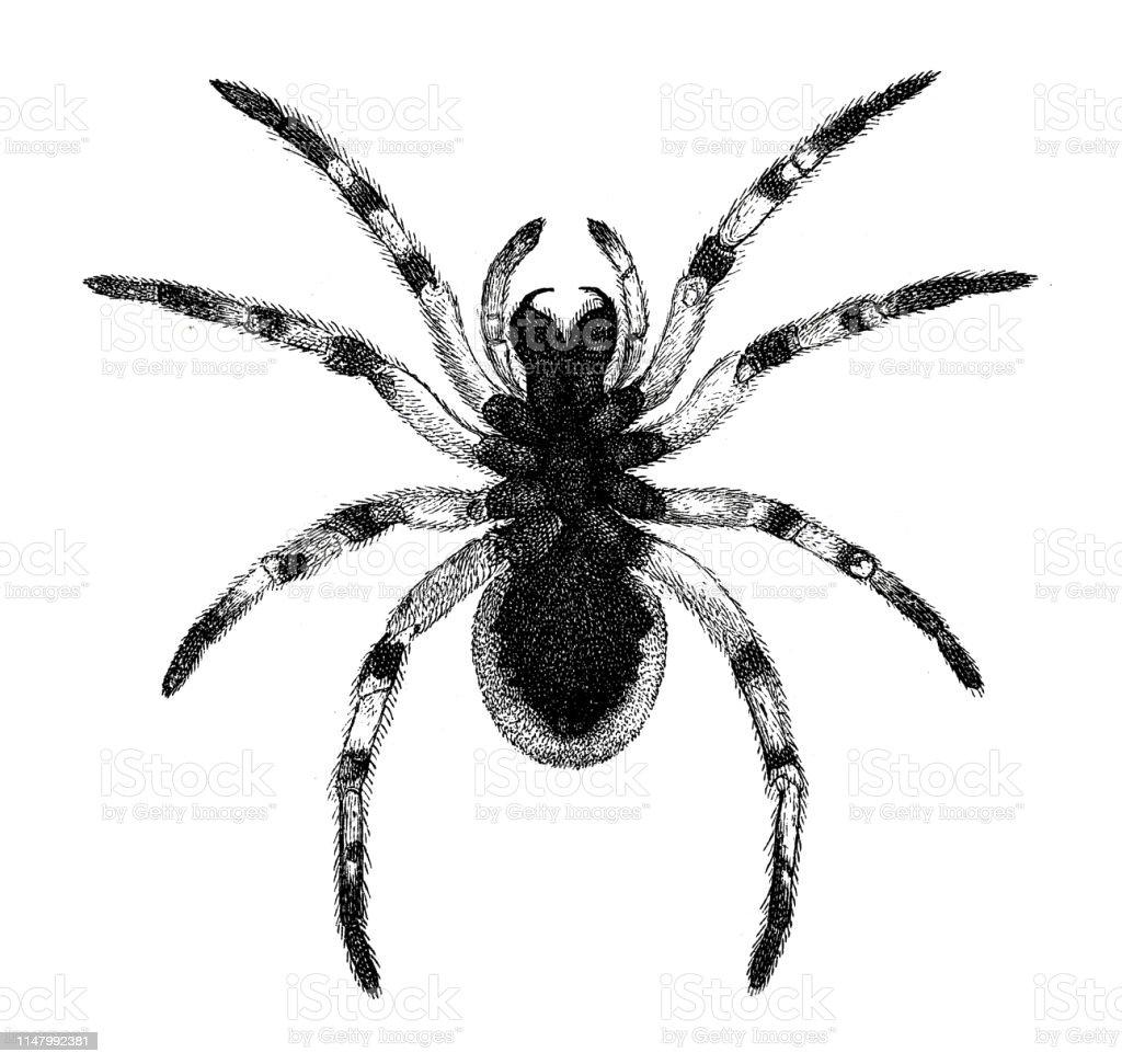 Spider Blackbellied Tarantula Bottom Stock Illustration