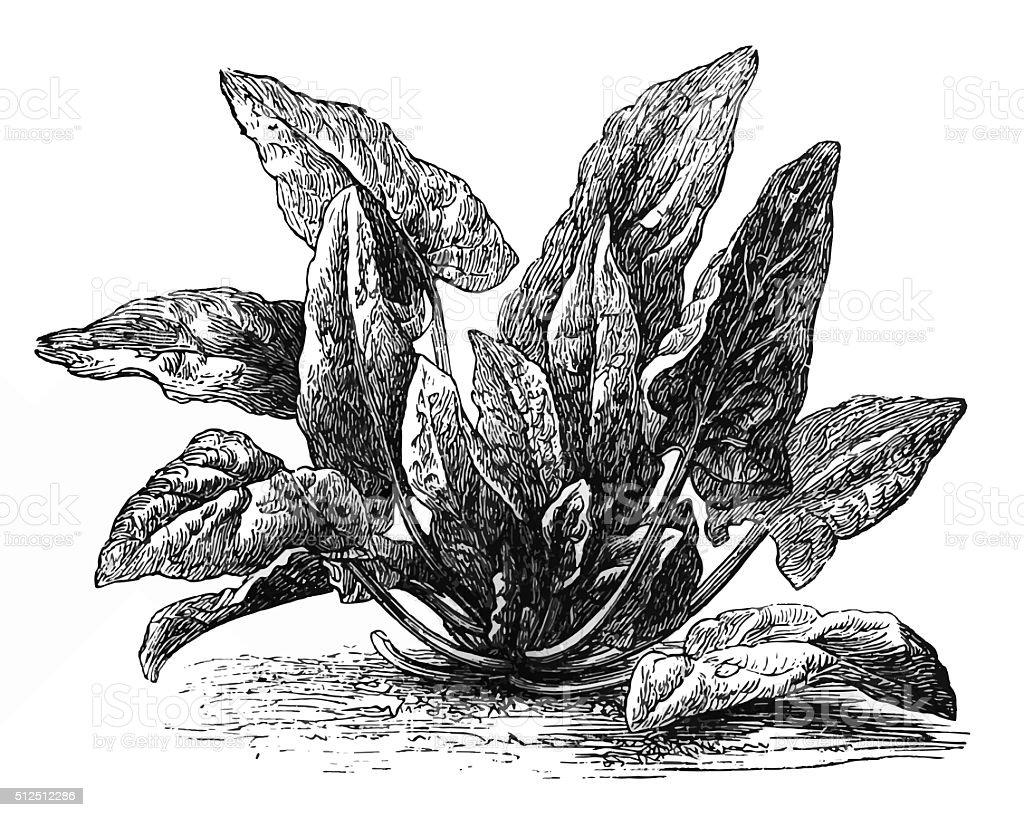 Spinach (Spinacia oleracea) vector art illustration