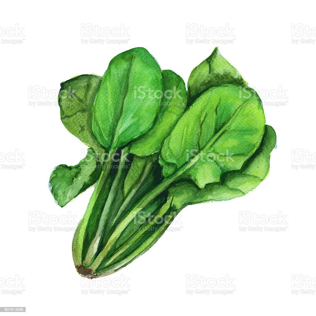 Spinach. Isolated on a white background. Watercolor illustration. vector art illustration