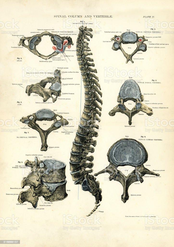 Spinal Column and Vertebrae vector art illustration