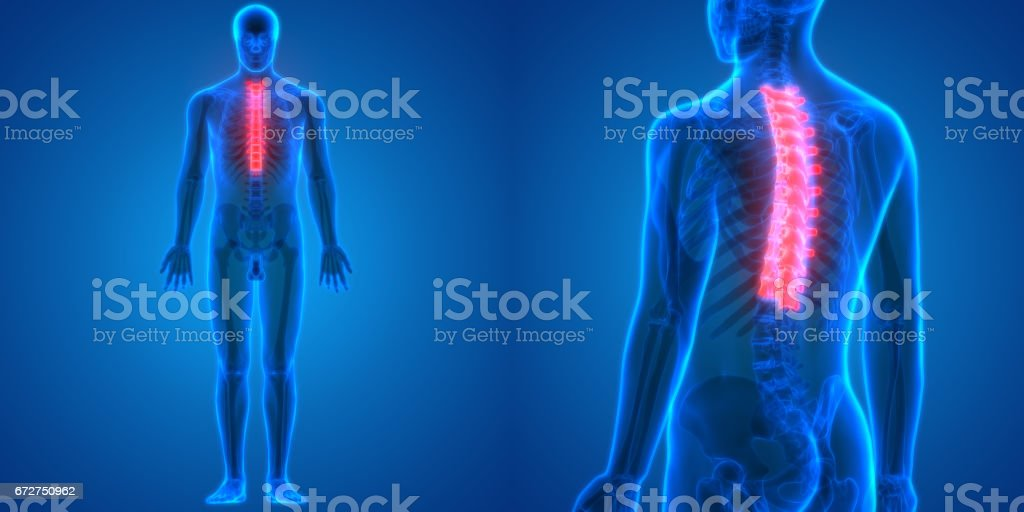 Rückenmark Ein Teil Der Menschlichen Skelett Anatomie Stock Vektor ...