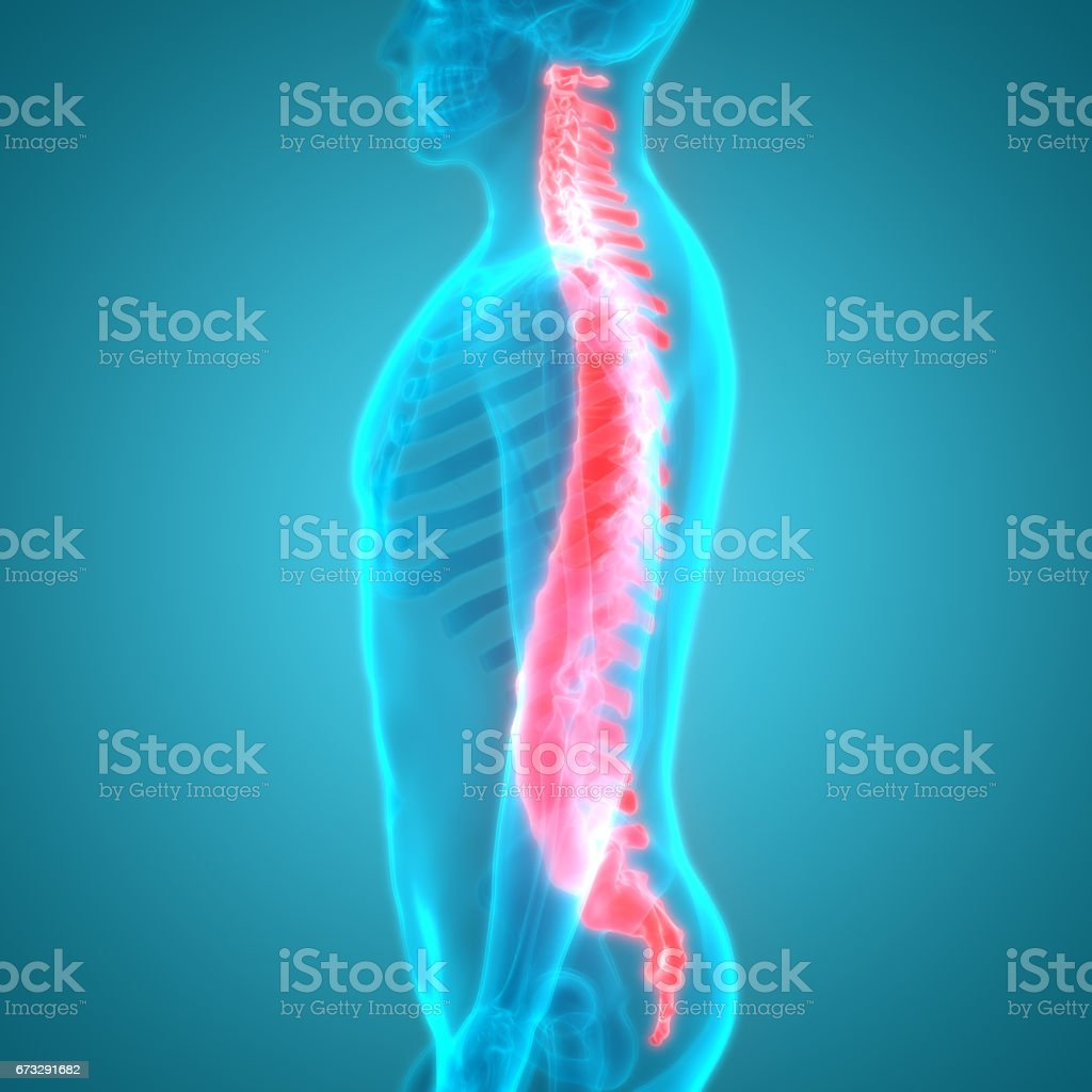 Spinal cord a Part of Human Skeleton Anatomy royalty-free spinal cord a part of human skeleton anatomy stock vector art & more images of abdomen