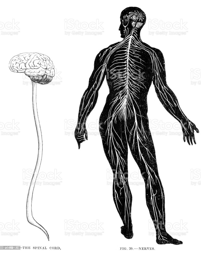Spinal Cord and Nerves royalty-free stock vector art