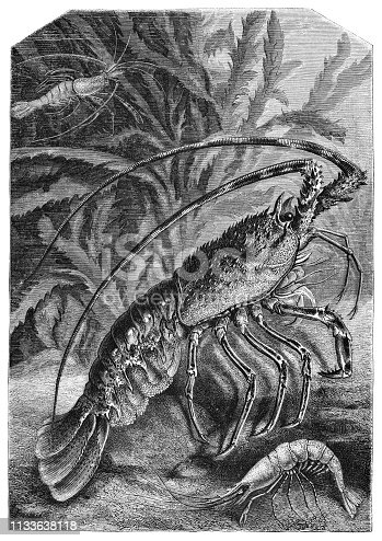 Common Spiny Lobster (Palinurus Elephas) and Scampi in the Mediterranean Sea from Magasin Pittoresque. Vintage etching circa mid 19th century.