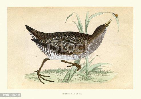 istock Spotted crake (Porzana porzana), small waterbird, Wildlife art print 1284616293
