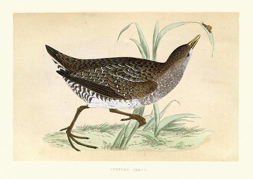 Spotted crake (Porzana porzana), small waterbird, Wildlife art print