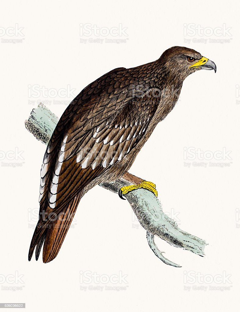 Spotted Eagle royalty-free spotted eagle stock vector art & more images of animal
