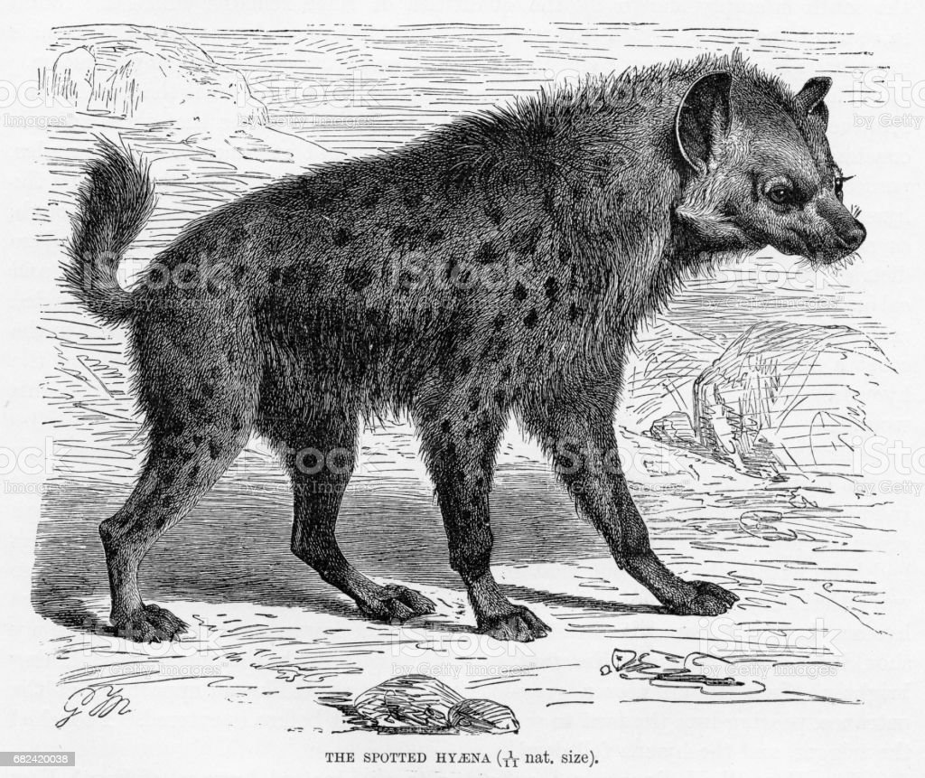 Spotted hyena engraving 1894 royalty-free spotted hyena engraving 1894 stock vector art & more images of animal