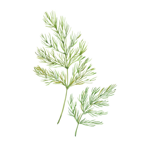 Sprig of dill Sprig of dill , watercolor illustration  on white background dill stock illustrations