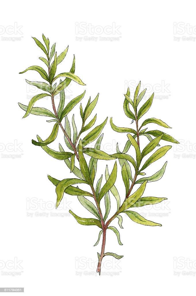 Sprig of rosemary. Watercolor illustration vector art illustration