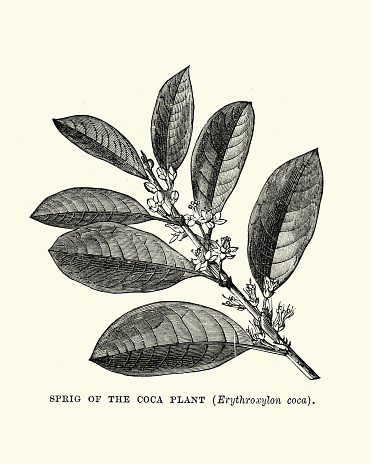 Sprig of the Coca Plant, Erythroxylum coca