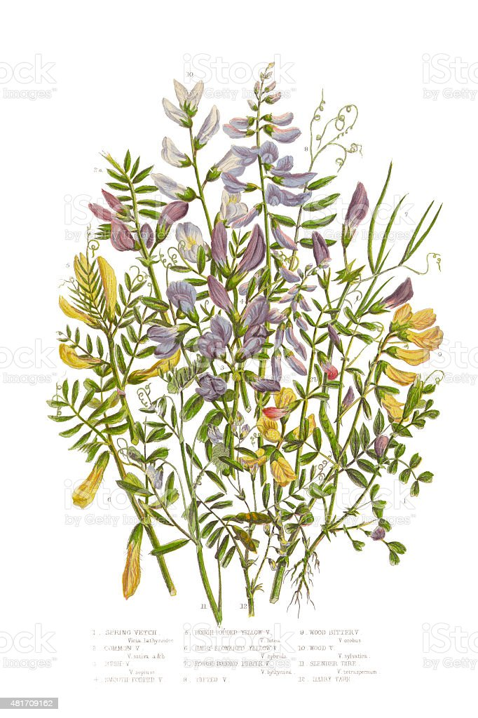 Spring Vetch, Vicia, and Wood Bitter Victorian Botanical Illustration vector art illustration