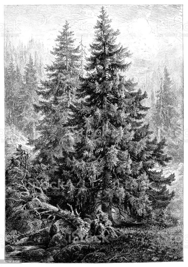 Spruce Pine Tree or Pinus Picea vector art illustration