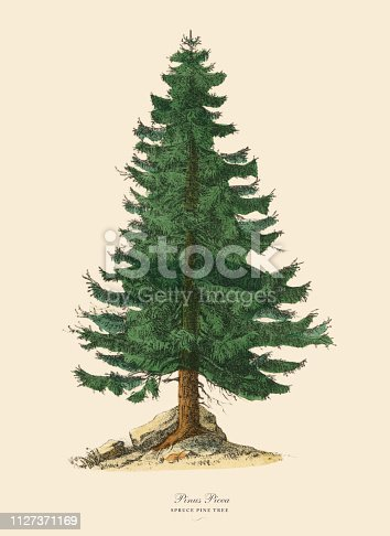 Very Rare, Beautifully Illustrated Antique Engraved Victorian Botanical Illustration of Spruce Pine Tree or Pinus Picea: Plate 43, from The Book of Practical Botany in Word and Image (Lehrbuch der praktischen Pflanzenkunde in Wort und Bild), Published in 1886. Copyright has expired on this artwork. Digitally restored.
