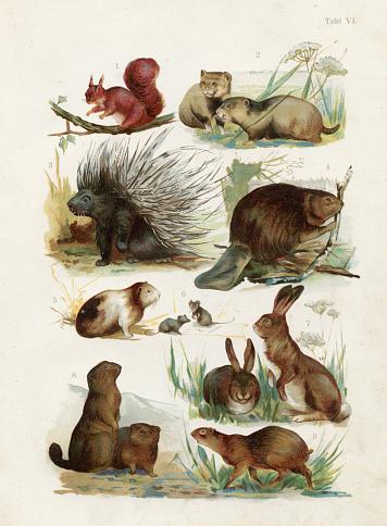 Squirrel, Porcupine, Beaver, Guinea pig, Hare, Marmota chromolithograph illustration 1891