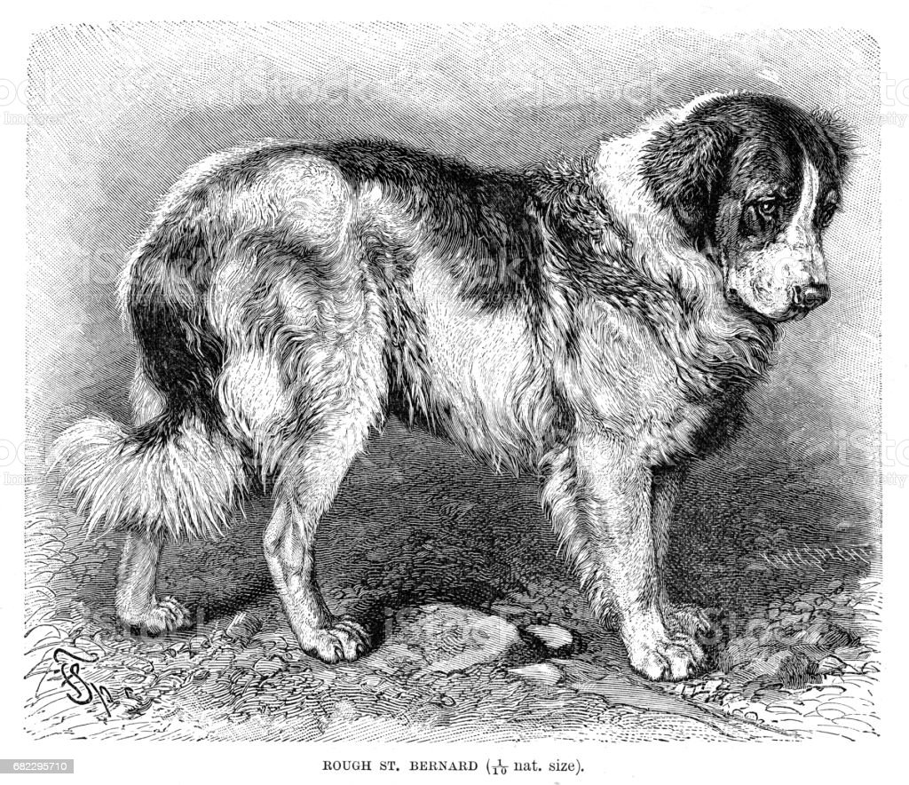 St. Bernard dog engraving 1894 vector art illustration