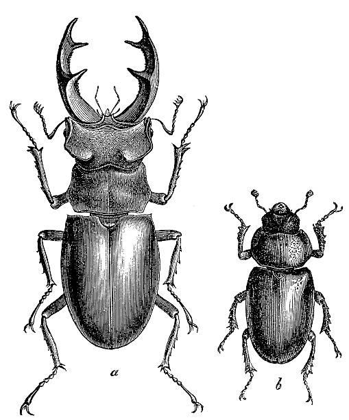 Stag Beetle (Lucanus Cervus) male and female Stag Beetle (Lucanus Cervus) male and female beetle stock illustrations