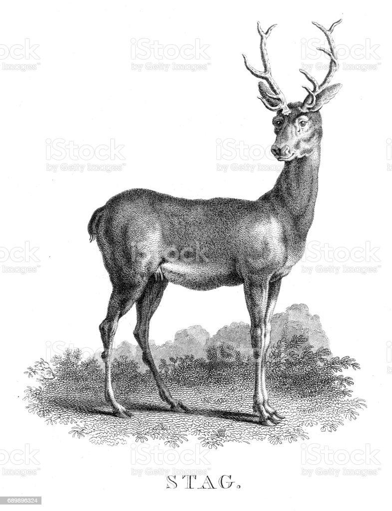 Ilustración de Deer Ciervo Grabado 1812 y más banco de imágenes de ...