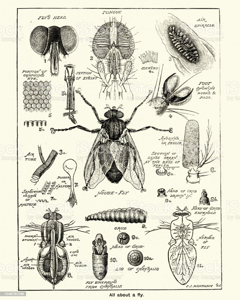 Stages And Anatomy Of A House Fly Stock Vector Art More Images Of