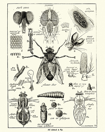 Vintage engraving of Stages and anatomy of a house fly, Victorian, 19th Century