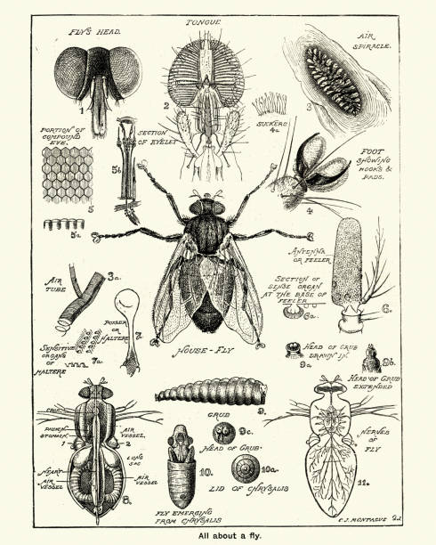Stages and anatomy of a house fly Vintage engraving of Stages and anatomy of a house fly, Victorian, 19th Century fly insect stock illustrations