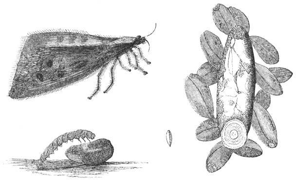 Étapes de l'European Grain Moth insecte - Nemapogon granella - Illustration vectorielle