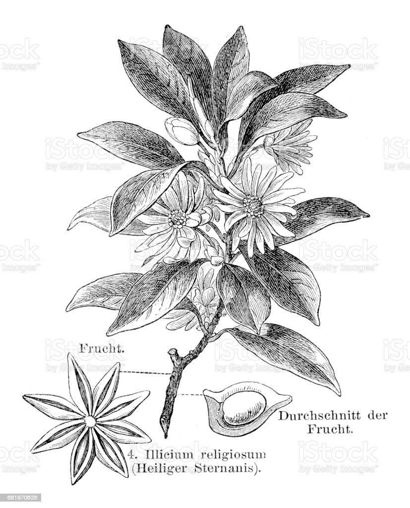 Staranise engraving 1895 vector art illustration