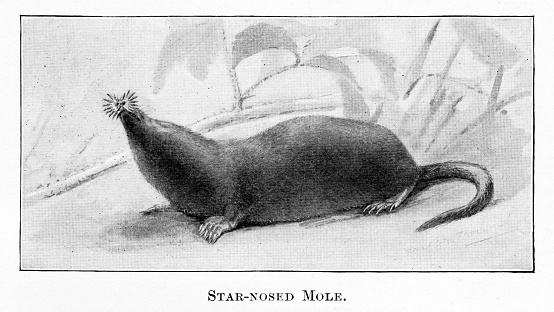 Star-nosed Mole in natural environment. Illustration by a famous Naturalist artist, Ernest Seton Thompson,  published 1898 book about animals in North America. Source: Original edition is from my own archives. Copyright has expired and is in Public Domain.