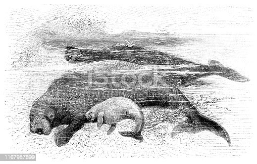 Steller's sea cow ( Hydrodamalis gigas ) is an extinct sirenian discovered by Europeans in 1741. At that time, it was found only around the Commander Islands in the Bering Sea between Alaska and Russia. Original edition from my own archives Source :