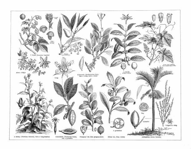 illustrazioni stock, clip art, cartoni animati e icone di tendenza di stimulant plants - camellia sinensis