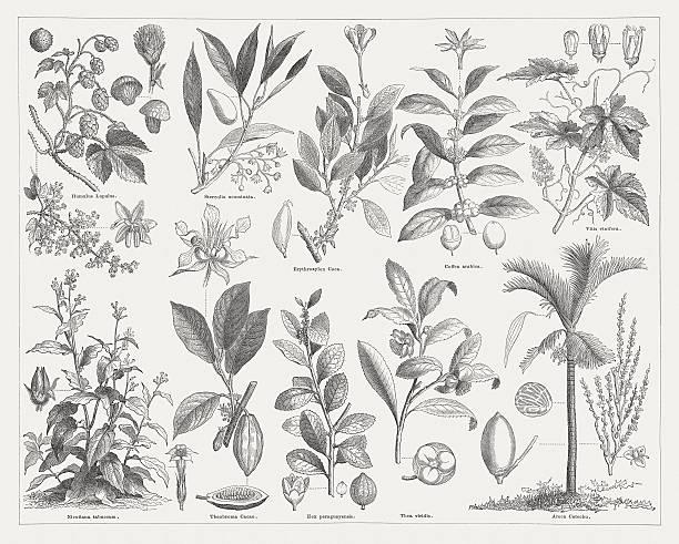 illustrazioni stock, clip art, cartoni animati e icone di tendenza di stimolo piante, pubblicato nel 1876 - camellia sinensis