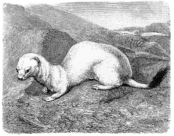 Stoat (Mustela erminea) Antique illustration of stoat (Mustela erminea) ermine stock illustrations