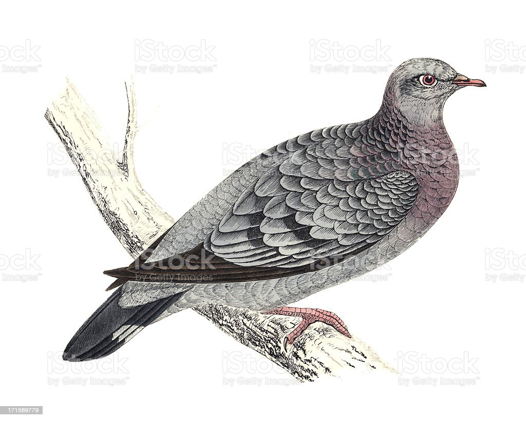 Stock Dove - Hand Coloured Engraving royalty-free stock dove hand coloured engraving stock vector art & more images of 19th century