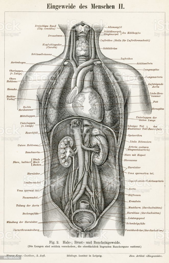 Stomach Digestive System Engraving 1895 Stock Vector Art & More ...