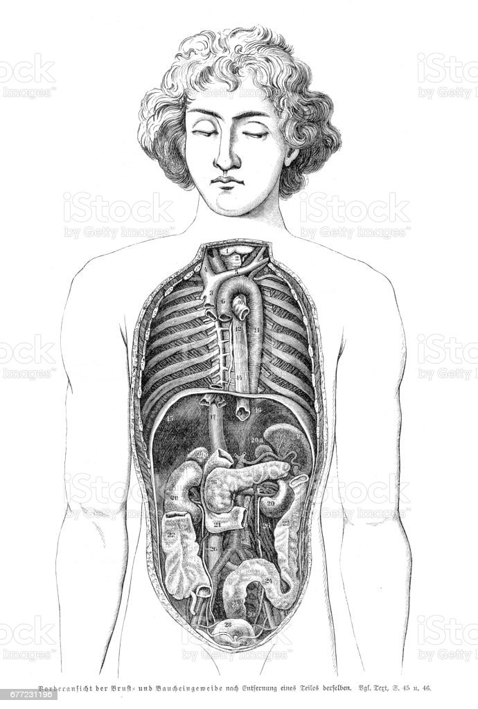 Stomach Organs Anatomy Engraving 1857 Stock Vector Art More Images