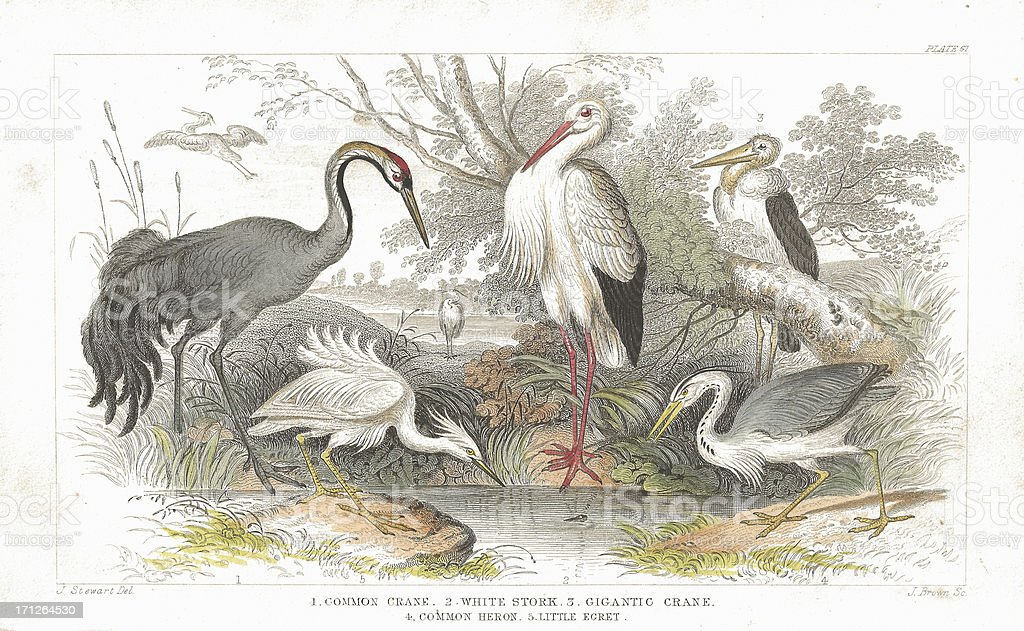 Stork, Cranes and Heron old litho print from 1852 royalty-free stock vector art
