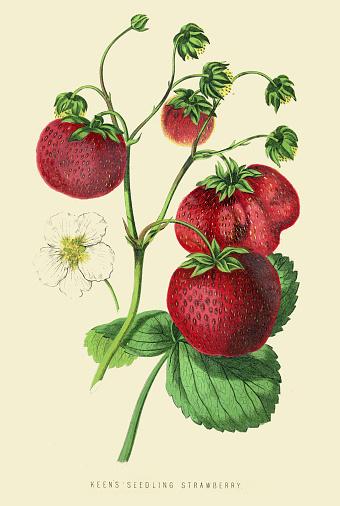 Strawberries illustration 1874
