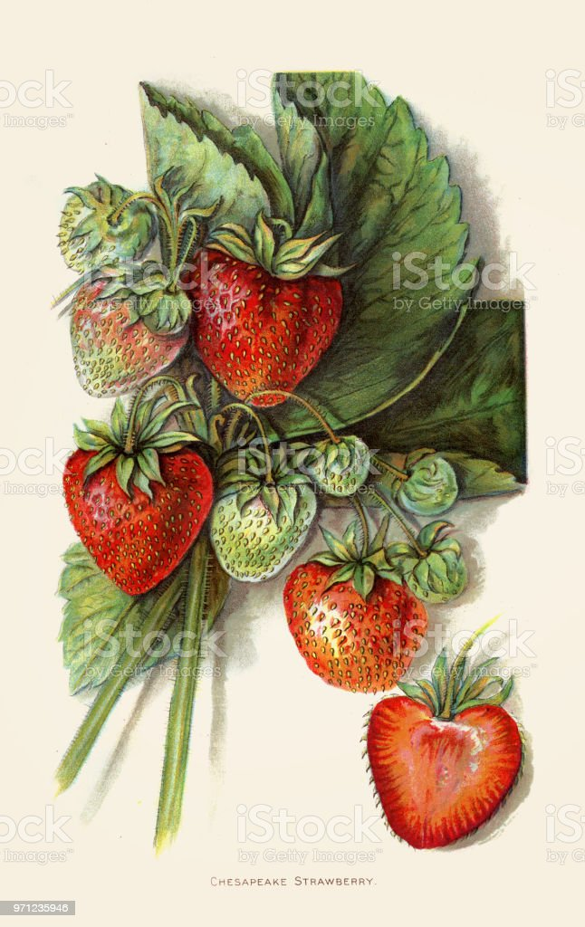 Strawberry illustration 1892 vector art illustration