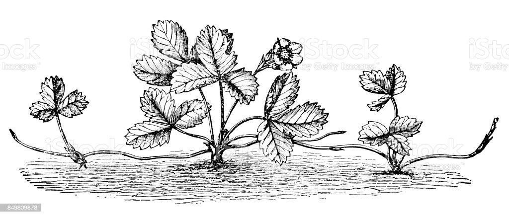 Strawberry plant from runner vector art illustration