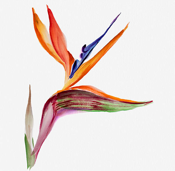 Strelitzia flower Watercolor painting  Strelitzia or bird of paradise flower bird of paradise plant stock illustrations
