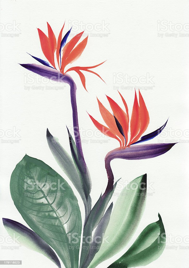Strelitzia reginae vector art illustration