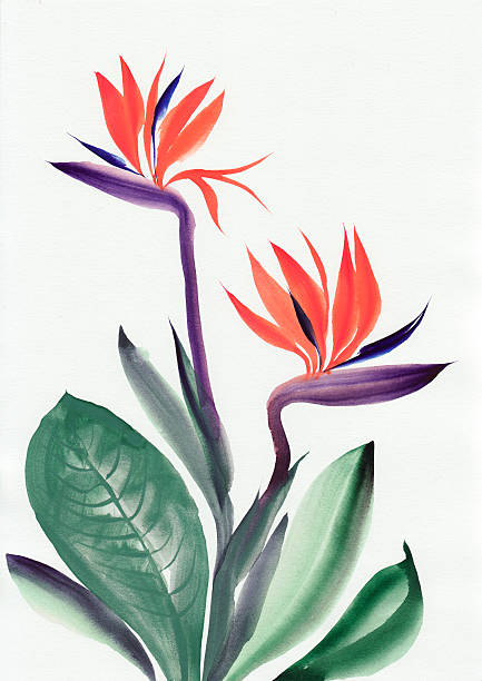 Strelitzia reginae Watercolor painting of Strelitzia reginae. Asian style. bird of paradise plant stock illustrations